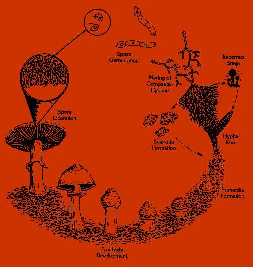 De levenscyclus van een paddenstoel speelt zich grotendeels ondergronds af.